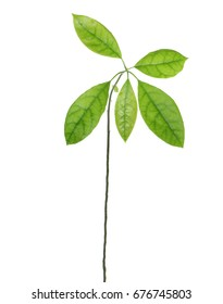 leaves of avocado isolated