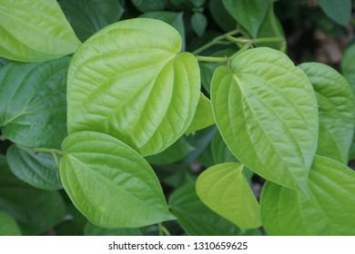 ฺBetel-vine leaves background, light green leaves of Piper betel .