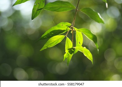 Leaves backlit with sunlight. Selective focusing and soft natural background.