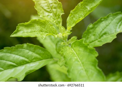 Leaves basil Bright green Yellow light is the background Make eye contact Natural mood/The leaves and flowers of Basil Close Up