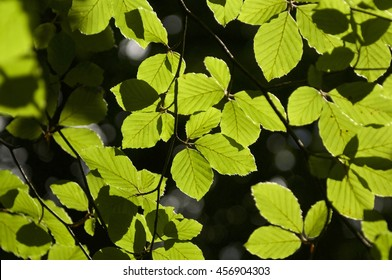 Leaves of a Beech tree, close up/