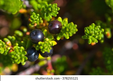 Leaves and berries of Black Crowberry. Iceland.