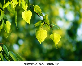 Leaves of birch and sunny day