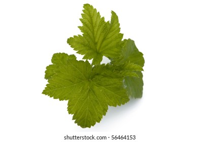 Leaves of a black currant on a white background
