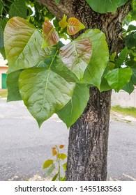 Leaves of black poplar tree, Populus
