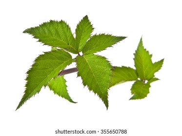 the leaves of blackberry are isolated on a white background