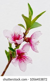 Leaves and blossom of the nectarine 'Madame Blanchette' isolated against a whitewashed wall