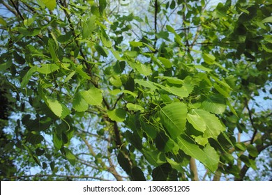 Leaves of the Bodhi tree