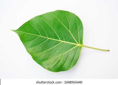 Leaves of Bodhi tree green color close up isolation.