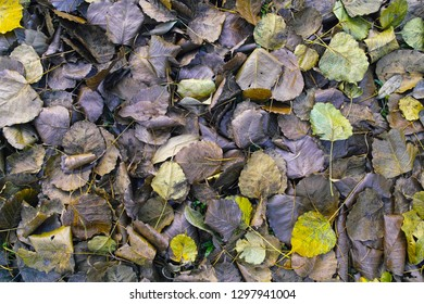 The leaves of the Bodhi tree on the floor