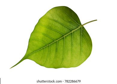The leaves of the Bodhi Tree on a white background with clipping path.