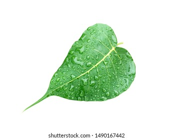 The leaves of the Bodhi tree with water defining are attached to the white background.