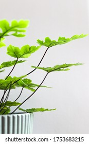 Leaves and branch of Maidenhair fern or Adiantum latifolium Lam in the pot with white background/Defocus.
