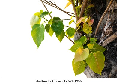 The leaves and branches of the Bodhi tree on white background, (bo tree, Pipal Tree,Peepul tree,Sacred tree,Sacred fig Tree).