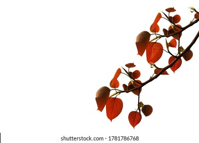The leaves and branches of the Bodhi tree on white background, (bo tree, Pipal Tree,Peepul tree,Sacred tree,Sacred fig Tree), red leaves, leave buds.