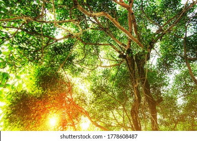 The leaves and branches of the Giant Bodhi tree (Bo Tree, Pipal Tree,Peepul tree,Sacred tree,