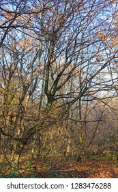Leaves and  branches of  the hornbeam trees in the foggy forest on blue sky. Natural expressionism.