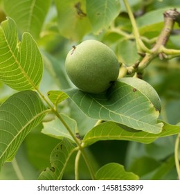 Leaves, branches and ripening walnuts on a tree. The scientific name of the walnut is Juglans regia, also known as the English walnut, Persian walnut or Carpathian walnut.