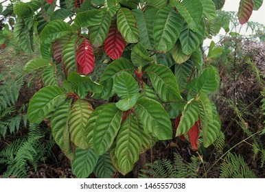 Leaves of brown Peru bark