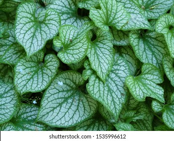 Leaves of the brunnera macrophylla 'Jack Frost' variety.