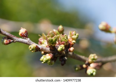 Leaves buds on the branch of a tree at the beginning of spring