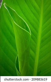 Leaves Canna Lily plant.