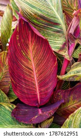 Leaves of the Canna plant. Cannaceae.
