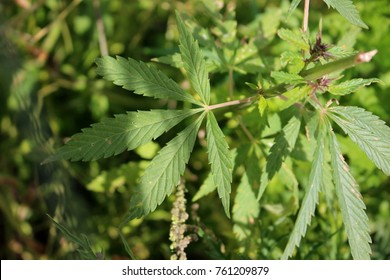 Leaves of cannabis (hemp) close-up with a soft focus on a sunny summer day in nature Republic of Khakassia. The leaf of the plant is found both in the shade and illuminated by the sun.