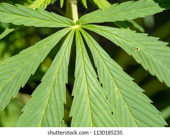 Leaves of Cannabis plant close up. Outdoor, sunlight.
