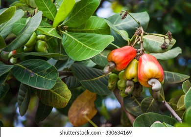 Leaves and cashews in cashew tree