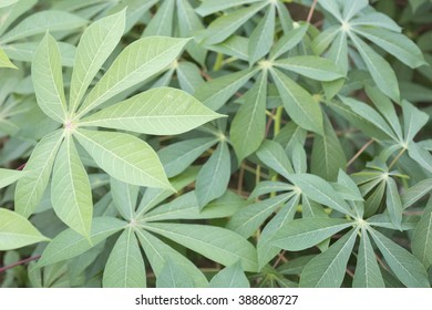 Leaves of cassava plant. Cassava is the third largest source of food carbohydrates in the tropics after rice and maize.