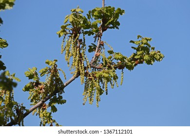 leaves and catkins on an oak tree Latin quercus variety quercus robur family fagaceae in spring in Italy and a protected tree in Italy