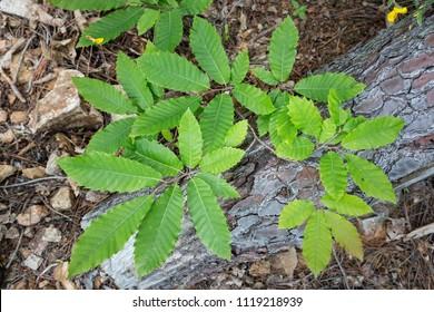 Leaves of a chestnut tree (Castanea sativa)