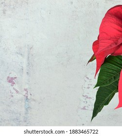 Leaves of christmas plant, poinsettia, with stone background