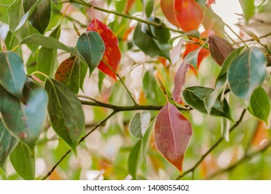 Leaves of Cinnamomum camphora a species of evergreen tree that is known under the names camphor tree, camphorwood or camphor laurel is invasive but makes beautiful, rich honey-coloured timber