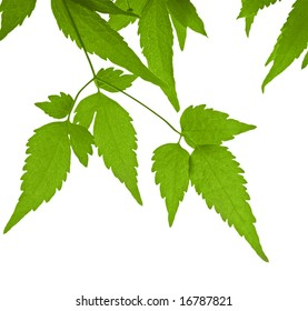 Leaves of clematis. Object over white