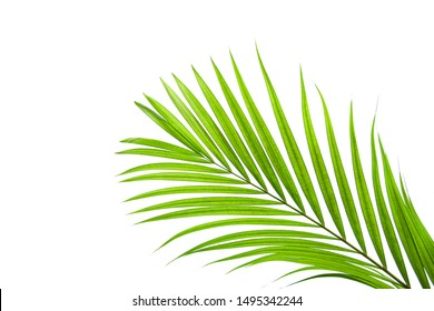 leaves of coconut isolated on white background, tropical palm leaf