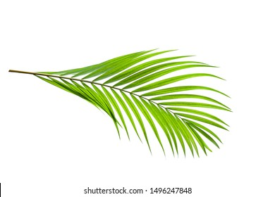leaves of coconut isolated on white background with clipping path for design elements, tropical leaf, summer background