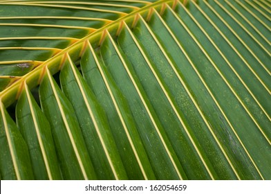 Leaves of coconut trees in the tropics