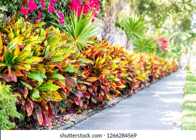 Leaves of codiaeum variegatum or petra croton tropical plant in landscaped garden with wall along street sidewalk in Key West, Florida