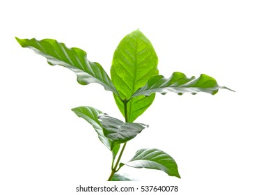 Leaves coffee tree isolated on white background.