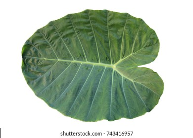 Leaves Colocasia esculenta var,isolated on white background