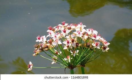 leaves of Common arrowhead, Sagittaria sagittifolia,