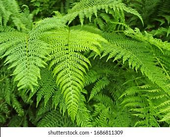 Leaves of the common bracken fern (Pteridium aquilinum (L.) Kuhn)