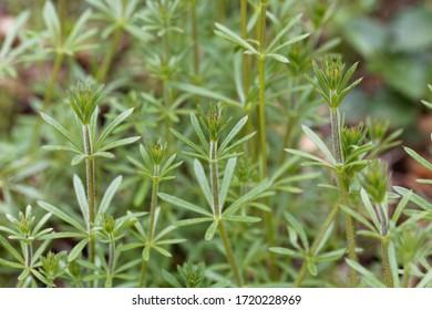 Leaves of a common cleavers plant, Galium aparine