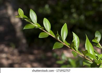 Leaves of Common Myrtle, Myrtus communis. It is native across the Mediterranean Region