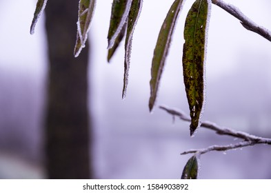 leaves covered with a layer of ice caused by frozen fog. Fog and tree in blurry background.