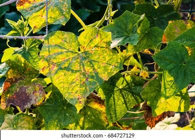 leaves of cucumber plantation damaged by spider mite in garden at summer sunset in Krasnodar region of Russia