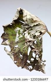 Leaves to dead lotus