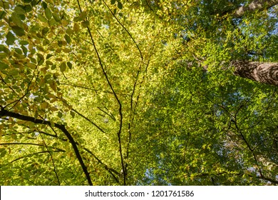 Leaves of deciduous trees in the sunlight. Sunny day in forest